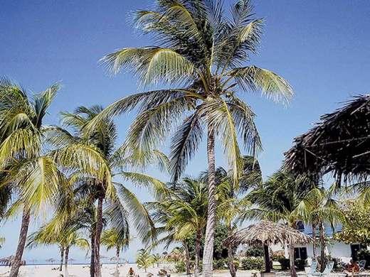 Photos de palmiers poilus